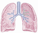 Lungs150