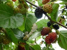Silkworm on Mulberry Tree By Gorkaazk (Own work) [CC-BY-3.0 (http://creativecommons.org/licenses/by/3.0)], via Wikimedia Commons