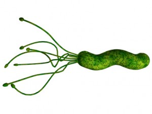 h.pylori is a spiral bacterium that burrows into the stomach lining, with ill results.