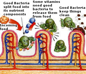 Illustration of Good Bacteria at work