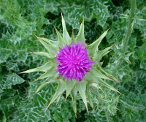 Photo - overhead view - Milk Thistle Flower surrounded by leaves