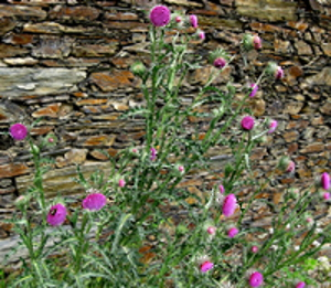 Photo - Milk Thistle flowering