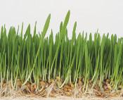 barley 175
