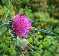 Milk_Thistle_and_bud 200