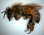 bee dead 150
