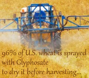 Glyphosate Wheat - Most US wheat is sprayed with glyphosate before harvest