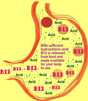 Illustration by Karen Kline Showing Vitamin B12 being released