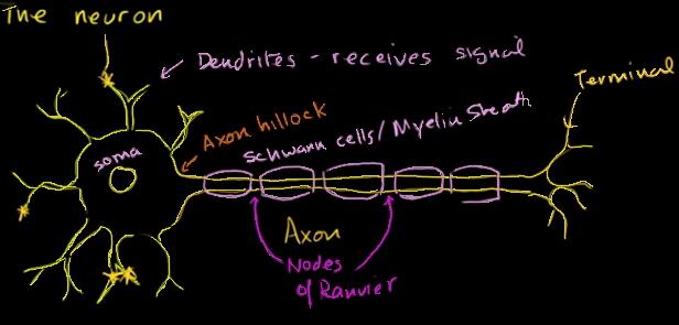 Nerve Cell (neuron)