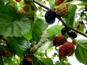 Photo - Silkworm on mulberry leaf, with mulberries in the picture