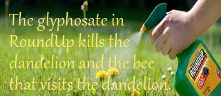 Glyphosate in RoundUp kills Dandelions and Bees that visit them