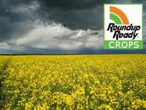 Roundup Ready Crops look deceivingly beautiful. But... RoundUp kills