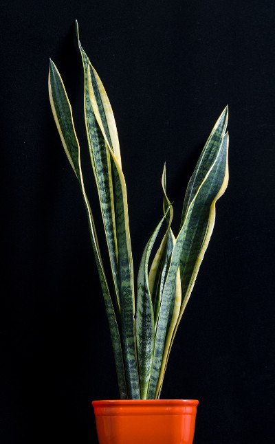 Mother in Law Tongue, also known as Sansevieria and Snake Plant